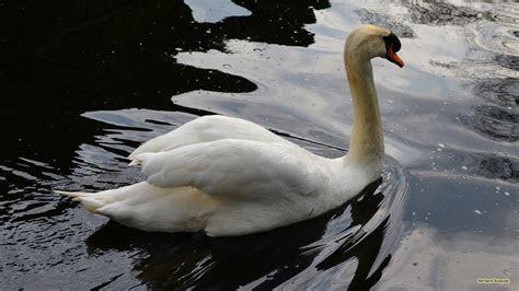 swans barbaras hd wallpapers