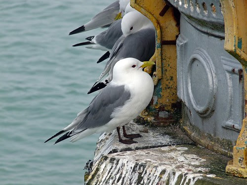 12255 - Kittiwake on Mumbles Pier
