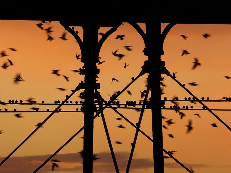 29167 - Starling Murmuration, Aberystwyth Pier