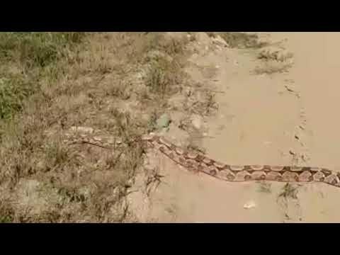 Jiboia é flagrada atravessando a estrada da Vila do Pará, em Santa Cruz do Capibaribe