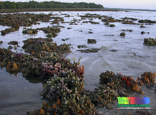 Rich coral rubble of Chek Jawa