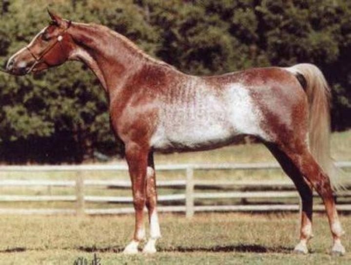 Red Rabikan animal horse
