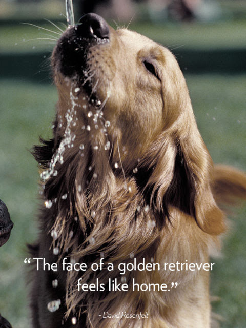 """The face of a golden retriever feels like home."" —David Rosenfelt"
