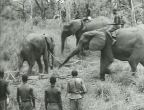 Elephant%20Capture-13 by bucklesw1