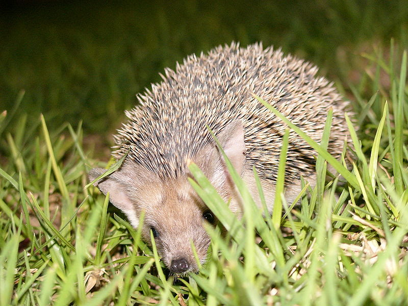 File:Hedgehog2 cyprus hg.jpg