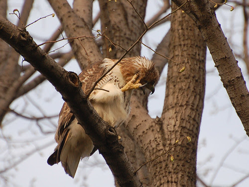 Riverside Red-Tail