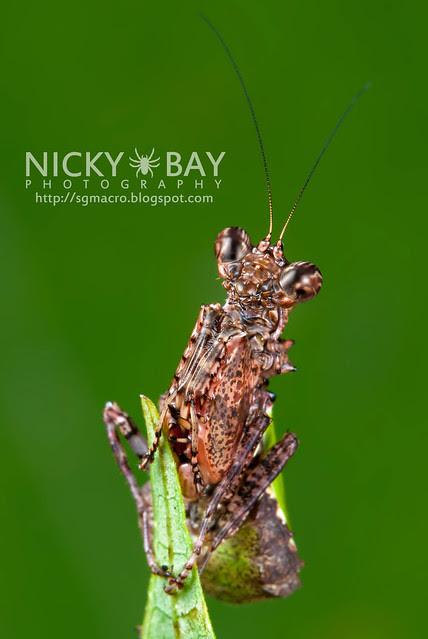 Pachymantis bicingulata - DSC_1499