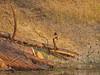 phoebe on log jam