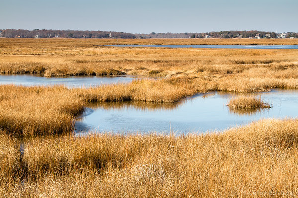 golden grass, in a salt marsh