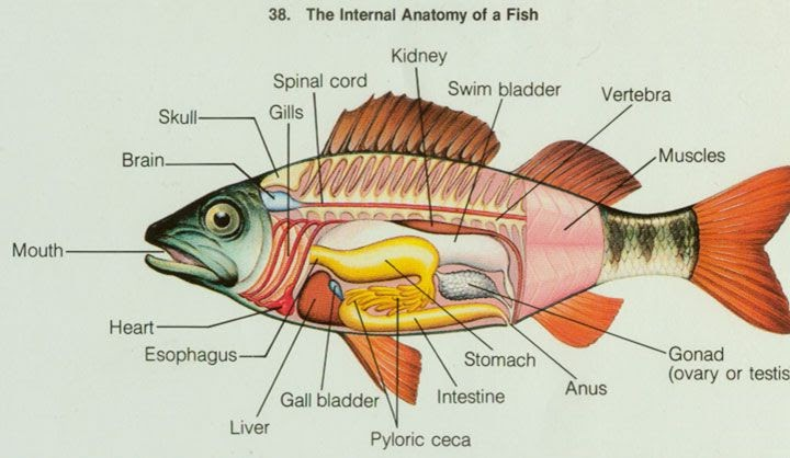 Mr Palmers Science Blog Fish Dissection