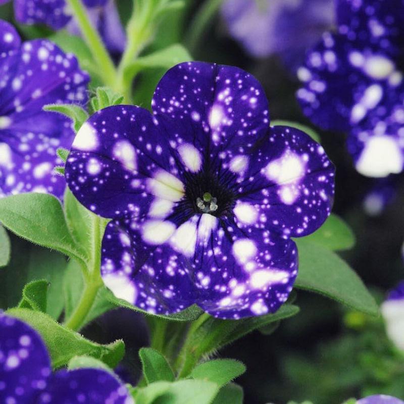 Flores espetaculares parecem ter o universo estampado em suas pétalas 03