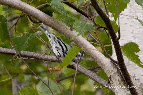 Black and White Warbler (Mniotilta varia)-2.jpg