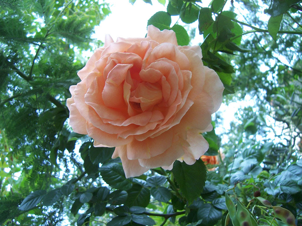 Photo de rose rosée