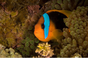 Clownfish in coral reef, disneynature, oceans