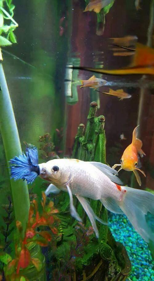Unduh 81 Gambar Ikan Cupang Albino Terbaru