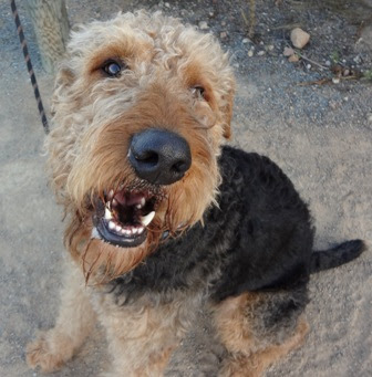 Airedale Terrier Dog Breed  Airedale Terriers  Airedale Terriers