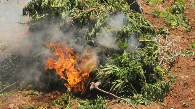 File photo shows cannabis plants on fire