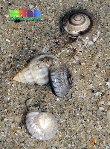 Hermit crabs about to exchange shells?