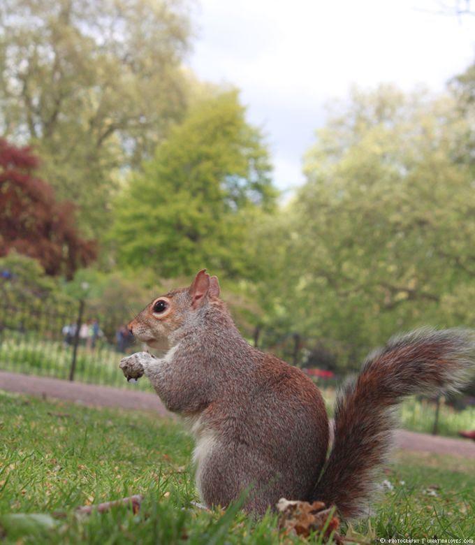 Eichhörnchen, St James Park