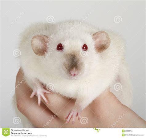 White Rat Royalty Free Stock Photo   Image: 33038755