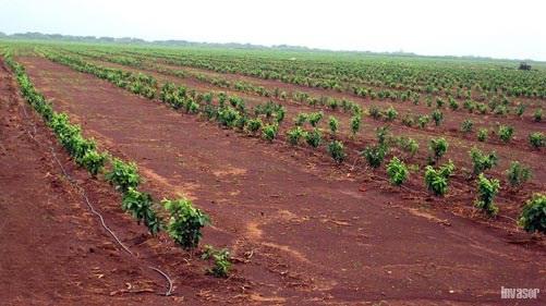 Plantaciones de guayaba