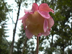 Sarracenia purpurea flower