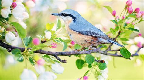 Free Spring Bird ChromeBook Wallpaper Ready For Download