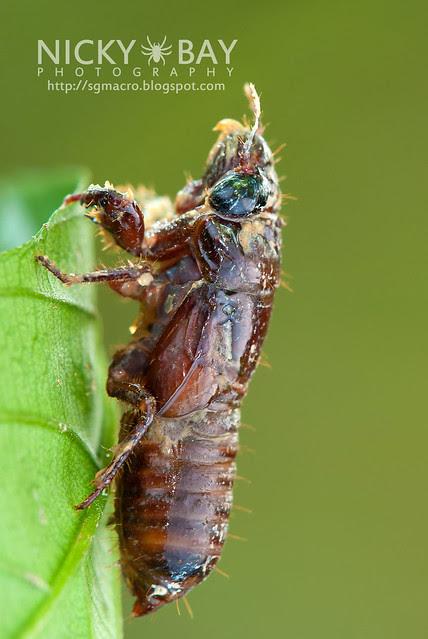 Cicada (Cicadidae) - DSC_1730