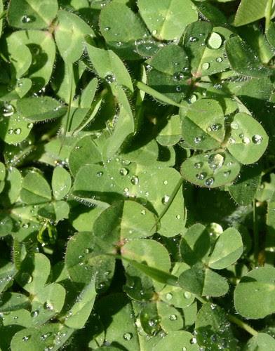 backyard clover