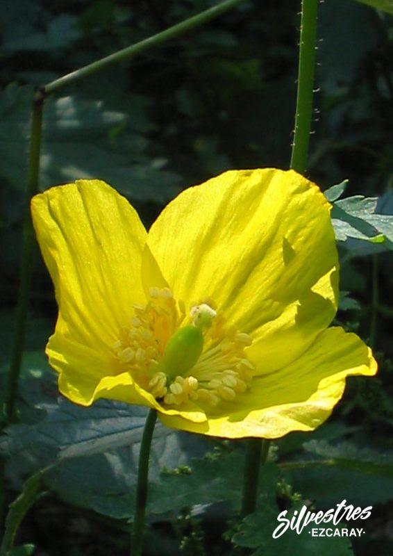 Flora Del Alto Oja Amapola Amarilla Silvestres Ezcaray