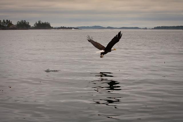 Bald Eagle of Sitka