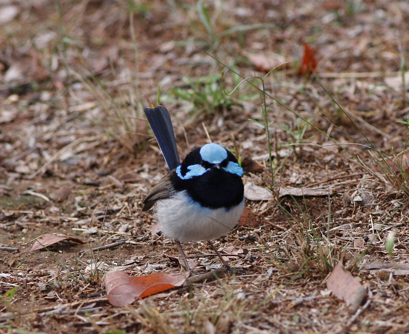 Male Superb Fairy-wren, still mostly in his breeding plumage.