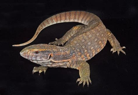 Reptile Lovers: Savannah Monitor