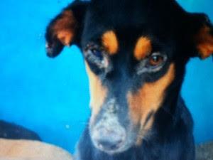 Cachorro com lesões causadas pelo calazar (Foto: Divulgação/CCZ)