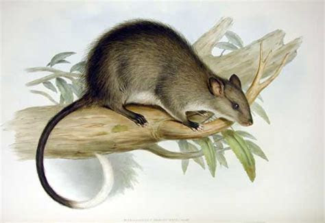 Black footed tree rat   Wikipedia