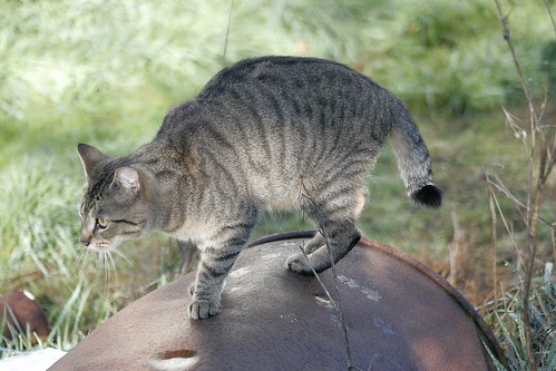 Semi-Bob Tailed Feral Cat by Pagani, all rights reserved