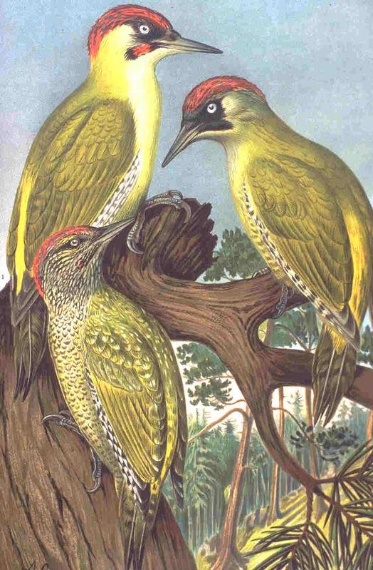 http://www.oiseaux.net/photos/johann.friedrich.naumann/images/pic.vert.jfna.0g.jpg