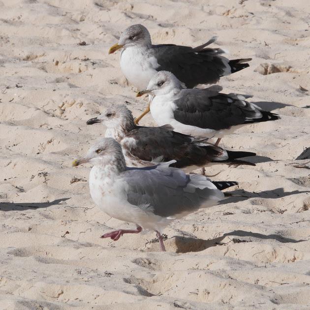 Ed Gaillard: birds &emdash; Herring and Lesser Black-Backed Gulls, New Providence, Bahamas