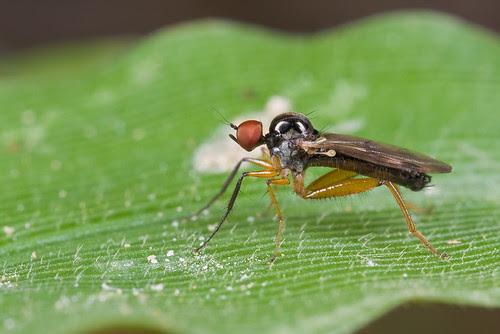 Hybotidae IMG_8372 copy