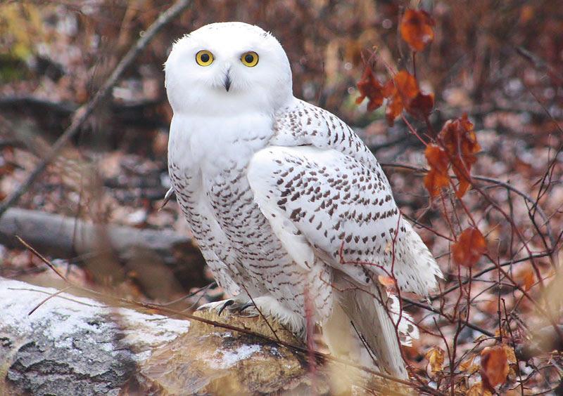 Hinterland Whos Who Snowy Owl