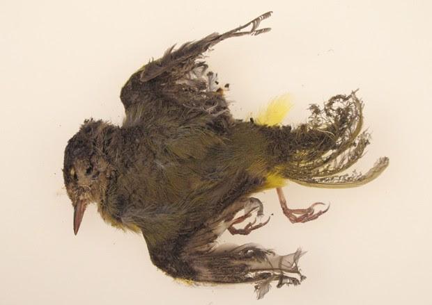 Foto de outubro de 2013 mostra pássaro chamuscado encontrado na usina solar no deserto de Mojave, na Califórnia (Foto: AP Photo/U.S. Fish and Wildlife Service)
