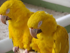sleeping yellow birds