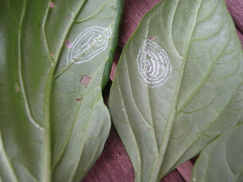 white fly spirals on underside of leaves