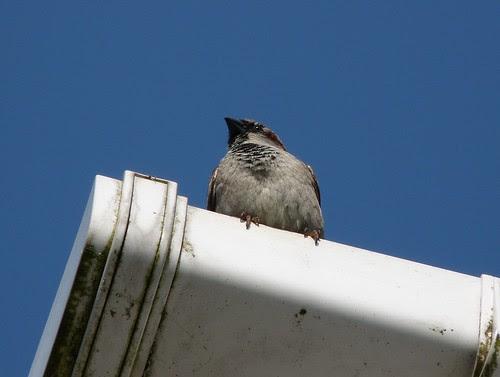 12249 - House Sparrow