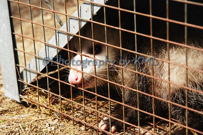 an opossum in a cage