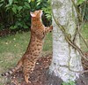 What is the average size of a Bengal cat?