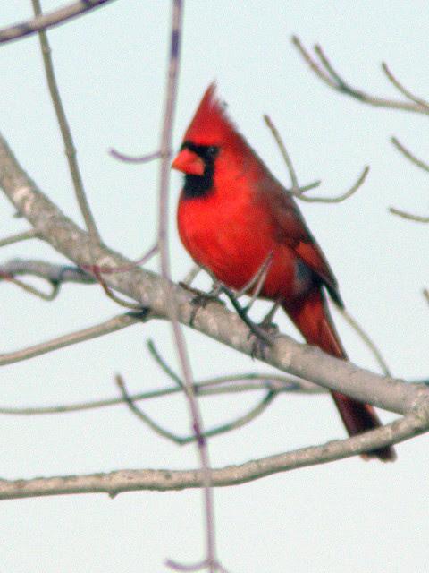 Northern Cardinal 20130115