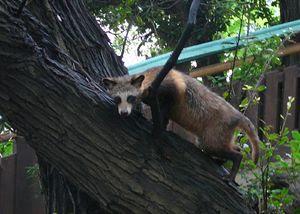 Tanuki climbing a tree.