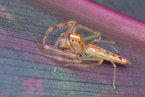 Viciria sp. Salticidae Viciria sp. jumping spiderIMG_0326 copy