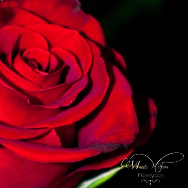 Monday Feb 13, 2012, A perfect rose for Valentines